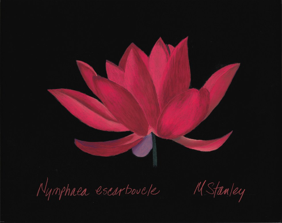 Nymphaea escarboucle