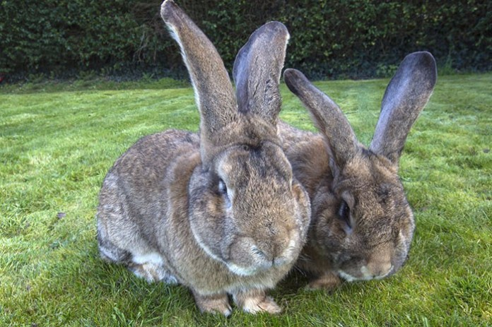 這2隻世界上最大的巨型兔子,牠們爆萌的程度讓我們的世界都圓滿了!