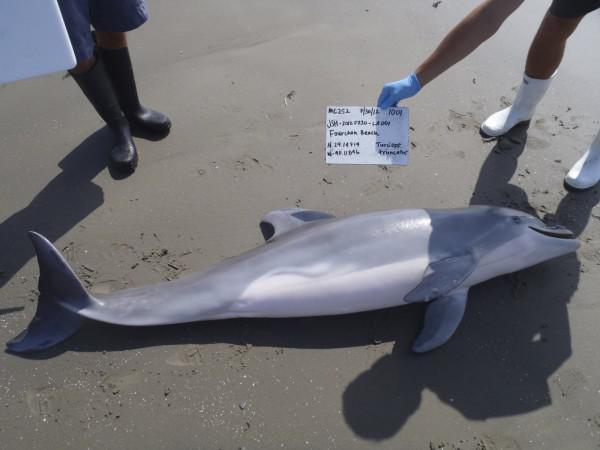 這對情侶喪心病狂!奄奄一息的「海豚」就這樣被活活弄死在海邊!