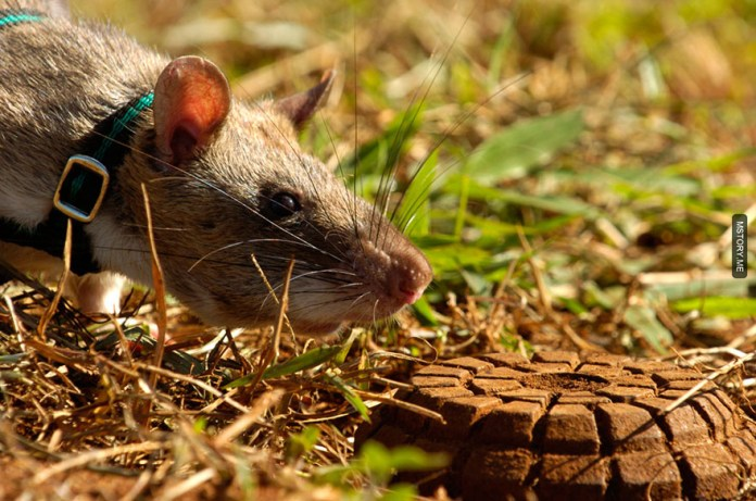HeroRATS help clear these deadly mines in Africa 02