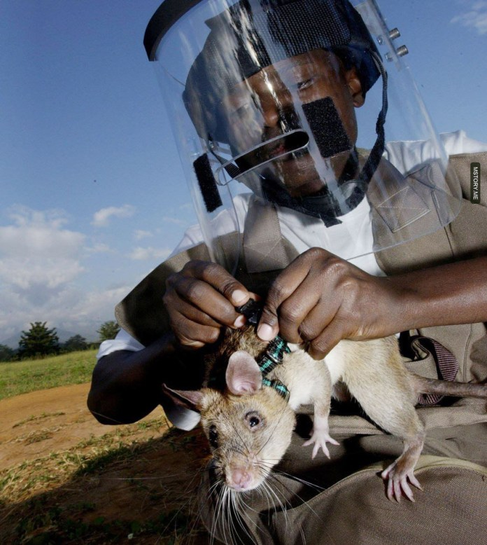 HeroRATS help clear these deadly mines in Africa 03