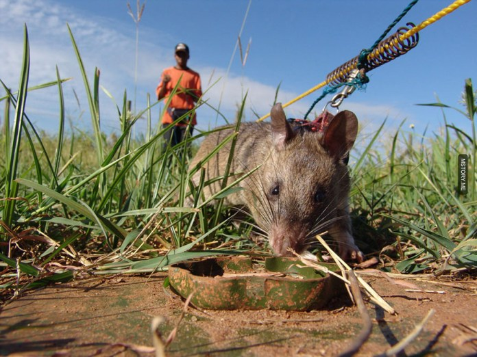 HeroRATS help clear these deadly mines in Africa 06