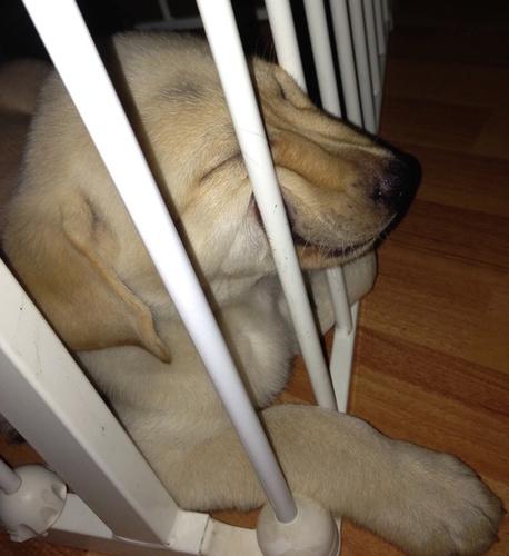 21张照片证明小狗狗只要困了,你完全阻止不了他!