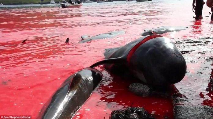 丹麥法羅群島宰殺250頭鯨魚血將海水染紅