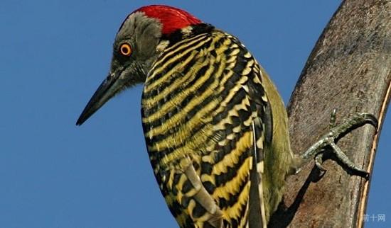 10件關於啄木鳥的怪事,它們自己有非常炫酷的方式來避免頭部受損和失明。