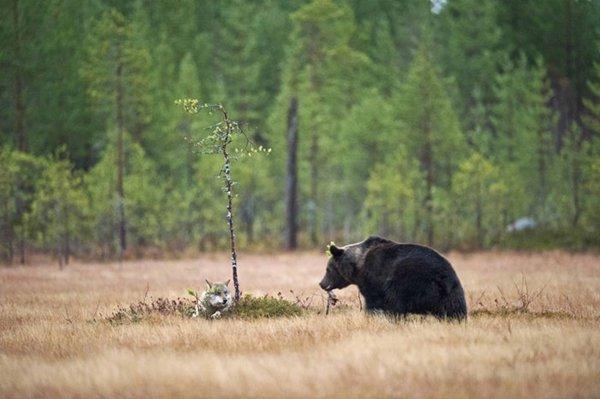 攝影師拍到灰狼和棕熊,連續十晚一起看日落!