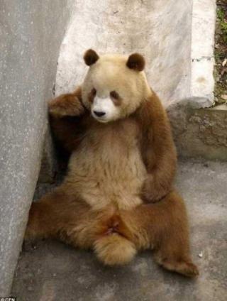 一只極其罕見的棕白色大熊貓,它彩色的外觀讓牠立即成為新的動作明星!