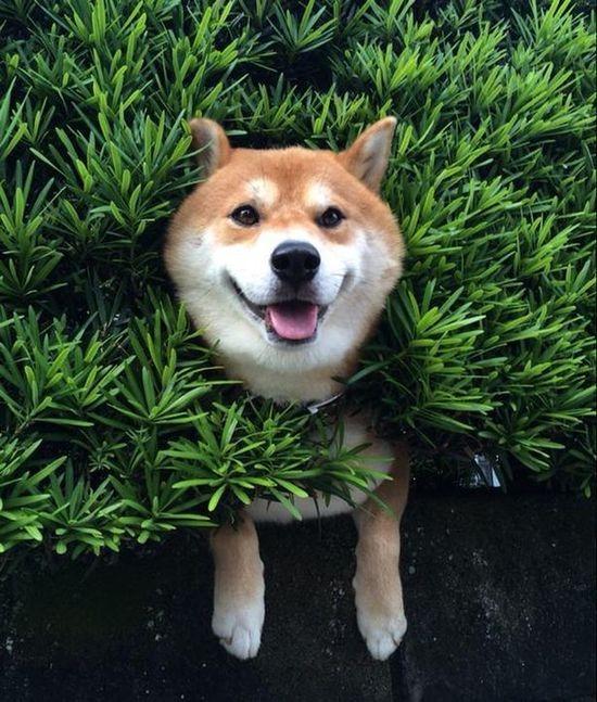 小狗被卡樹籬上 表情淡定惹人發笑