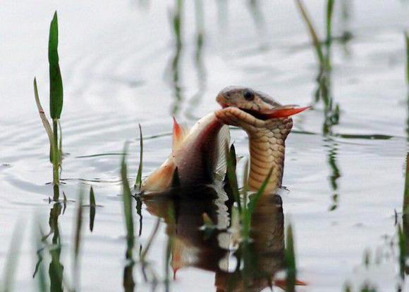 男子湖邊拍鳥,無意中拍到水蛇捕魚罕見瞬間!