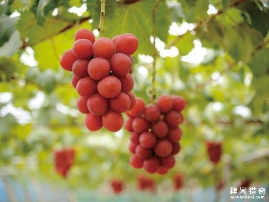 驚人!一串葡萄賣到10萬塊錢?吃一粒就要花3000多塊
