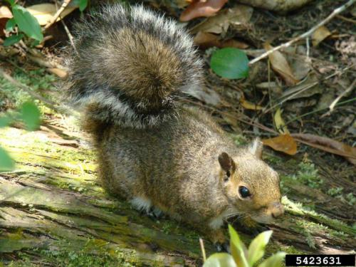 Image result for squirrels with walnuts
