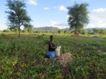 A farmer harvests a field of cowpea in Golomoti, Malawi. Farmers there often plant maize and cowpea in the same field, a process called intercropping. Photo: Erin Anders.