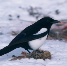 Blackbilled_magpie-Kramer-Garyusws_web