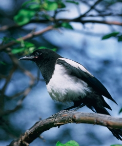 Blackbilled_magpie_BMartinka_web