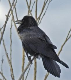 Common Raven1