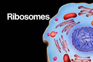 Ribosomes  MTB Cell Project