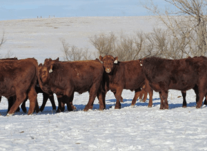 Ostendorf Red Angus Ranch