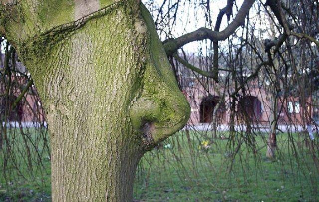 6. Arbre avec un nez, des arbres, une tromperie, une pareidolie, il semble que oui ce n'est pas pareil, on dirait que ça ressemble à un visage
