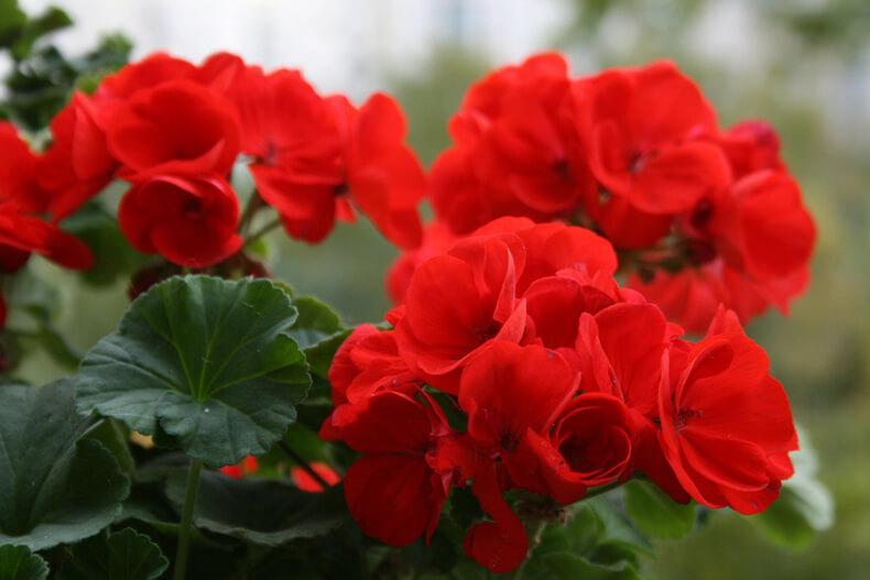 Осенняя обрезка герани — гарантия пышного цветения. Осенняя и весенняя обрезка герани для пышного цветения