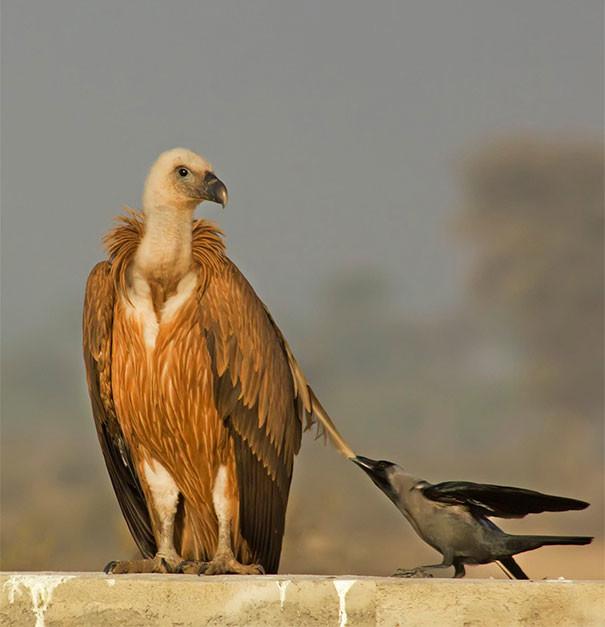 """""""Клюнуть эту ворону, или нет?"""" вороны, животные, птицы, фото"""