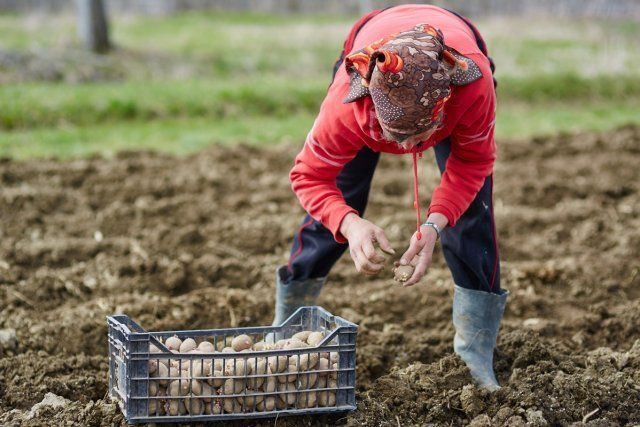 посадка картошки в огороде
