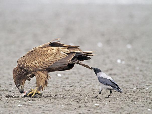 Их излюбленное занятие - тянуть других за хвосты. вороны, животные, птицы, фото