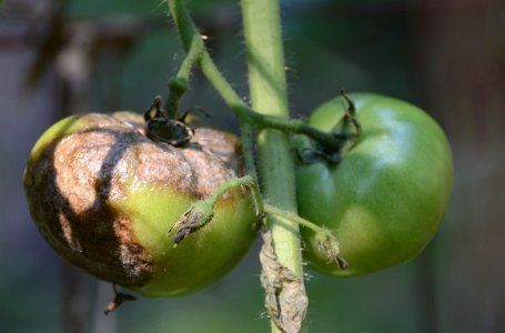 Чем нужно опрыскивать томаты в июне и июле, чтоб сберечь и повысить урожай