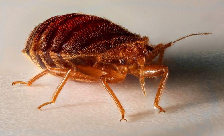 Клопы везде, клопы повсюду: мерзотнейшие факты о мерзотнейших насекомых