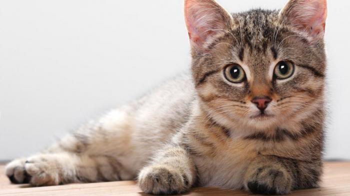 Так почему же нельзя смотреть кошке в глаза? Мистические и научные объяснения