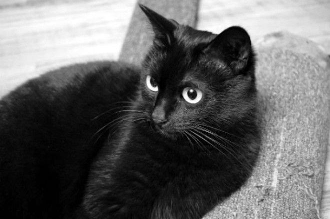 Самый богатый черный кот в мире животные, коты, факты