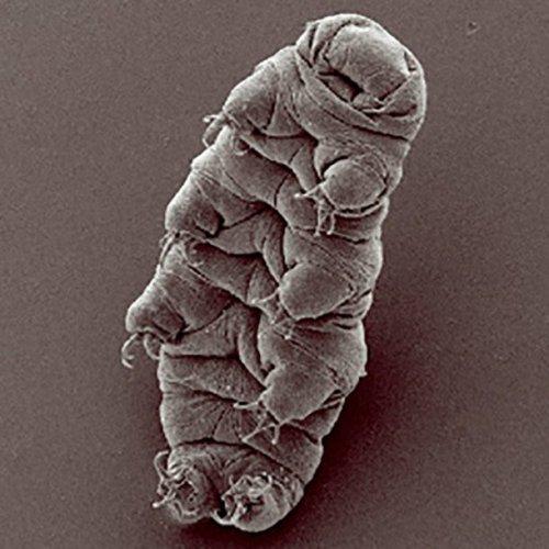 Тихоходка: удивительные факты о невероятно живучих микроорганизмах
