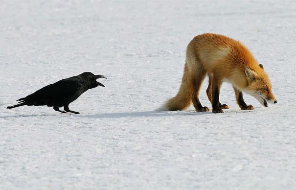 """""""Чтобы я усов твоих здесь не видел!"""" вороны, животные, птицы, фото"""