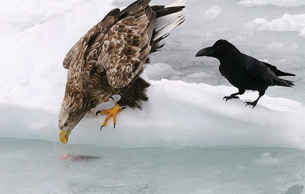 В ожидании шанса своровать еду вороны, животные, птицы, фото