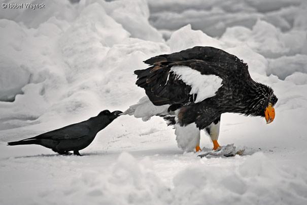Ворона тянет за хвост орла, чтобы отвлечь его от еды вороны, животные, птицы, фото