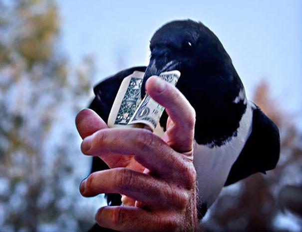 Наглая воришка вороны, животные, птицы, фото