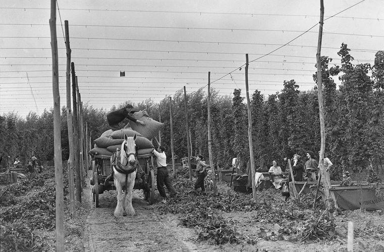 Как собирали хмель в графстве Кент