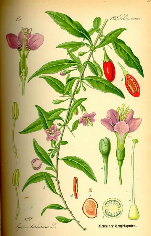 Как вырастить ягоды годжи в Подмосковье