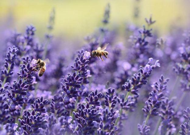 Лавандовый мед.