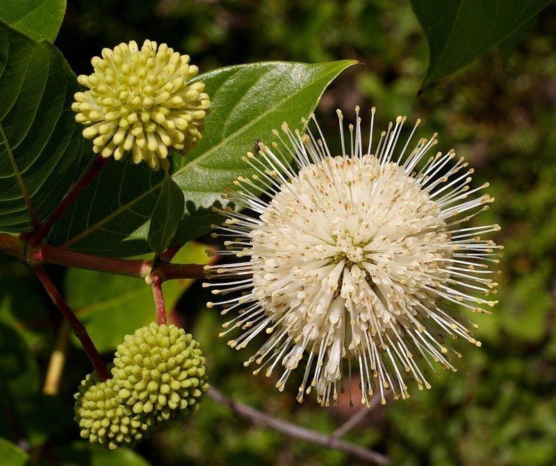 Цветоголовник западный — вид кустарников или небольших деревьев семейства Мареновые волосатость, интересное, красота, природа, растения, флора