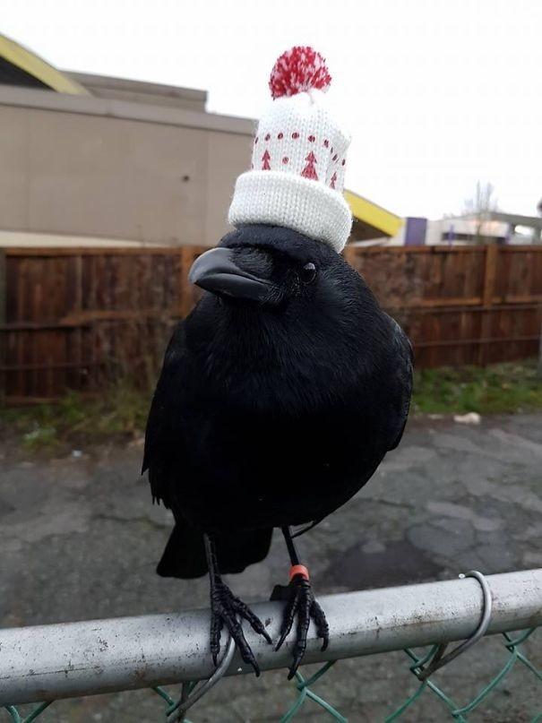 Ворон в шапочке вороны, животные, птицы, фото
