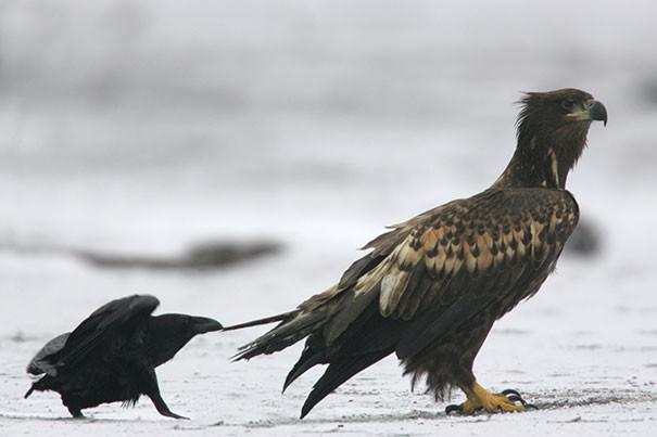 Очередная наглость вороны, животные, птицы, фото