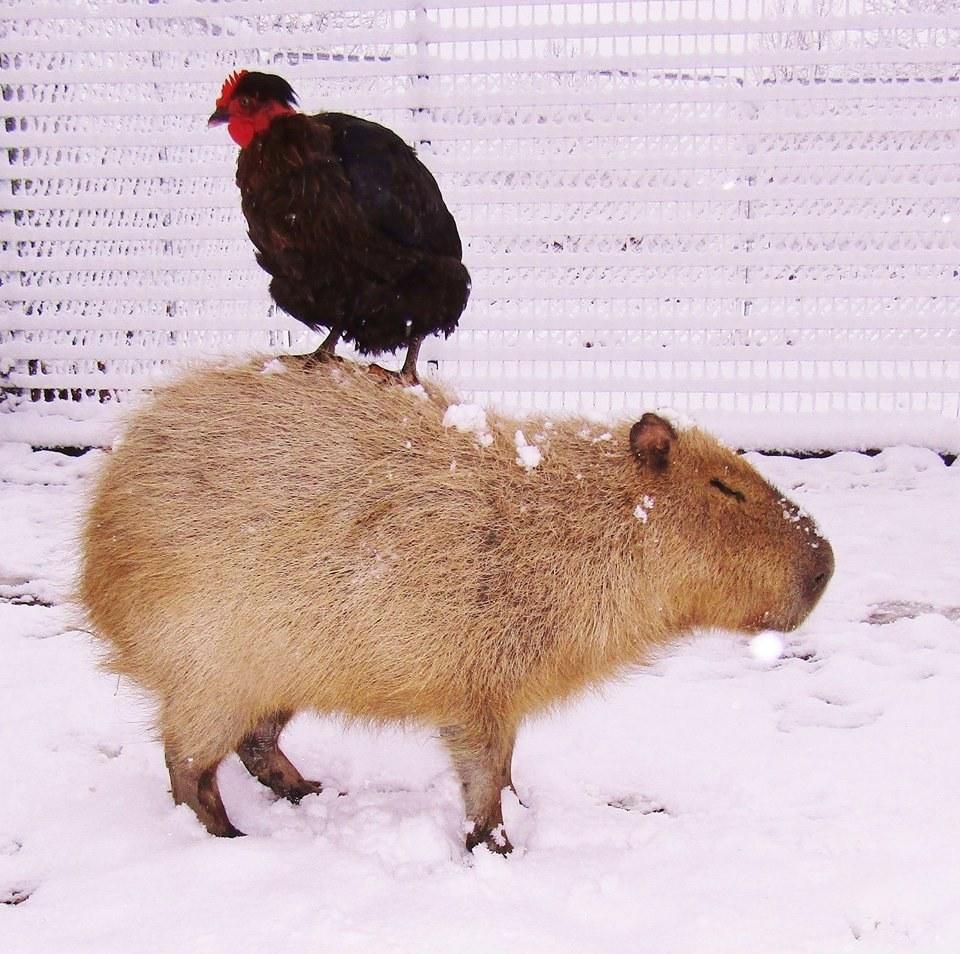 Спасенная капибара становится мамой для каждого животного в приюте