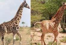 Photo of Watch Now: Dwarf giraffes found in the wild for the first time