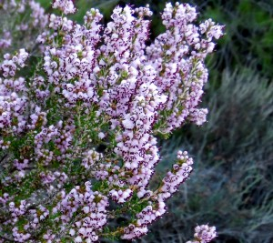 Erica manipuliflora in flower