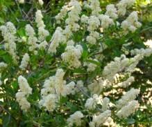 Ceanothus, White