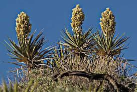 Yucca schidligera