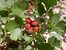 Skunk brush, Rhus trilobata