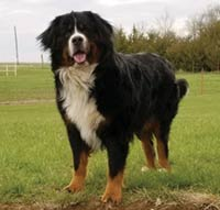 MT PLEASANT FAVORITE PET: Samson the Bernese mountain dog