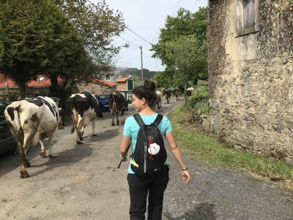 vacas etapa camino de santiago arzúa