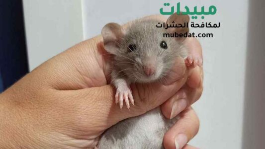 التخلص من الفئران القوارض